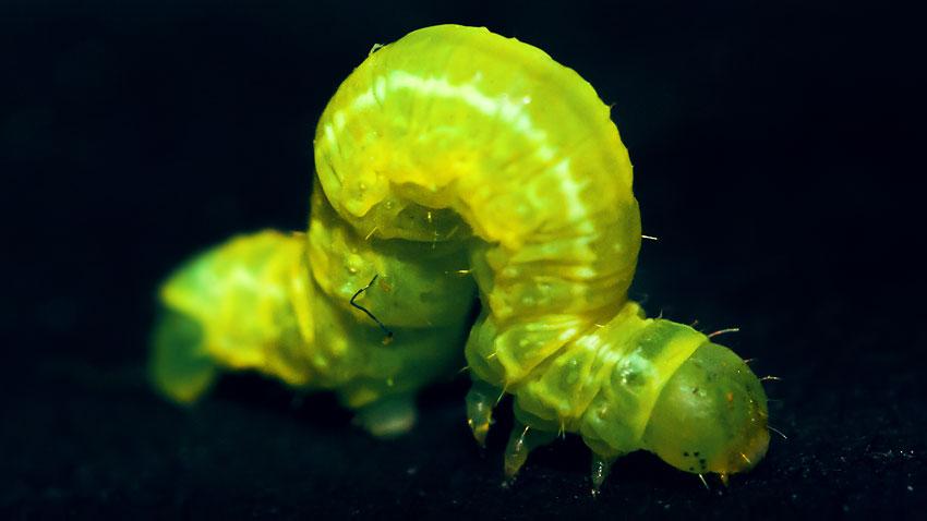Junge Raupe einer Cosmia Trapezina, Trapezeule (vermutet)
